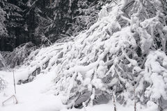 The branches in the snow. Snow-covered trees in the winter forest Royalty Free Stock Photos
