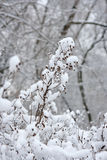 Branches with snow flakes Stock Photo