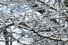 Branches with snow Royalty Free Stock Image
