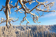 Branches with snow. In a landsacpe Royalty Free Stock Image