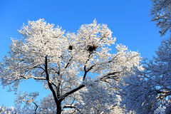 Snow branches Royalty Free Stock Photo