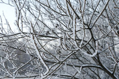 Branches in the snow. Branches in the snow in the winter Royalty Free Stock Photo