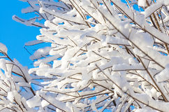 Branches snow winter sky blue snowflake forest frost tree. Branches snow winter sky blue snowflake forest frost Stock Image