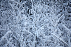 Branches in snow. Stock Image