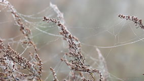 Branches with spider cobweb stock video