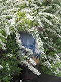Branches Spirea Gray in a large vase on the table. royalty free stock image