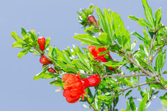 Branches of spring blossomin pomegranate sunlit red flowers Royalty Free Stock Photography