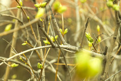 Branches spring buds Stock Images