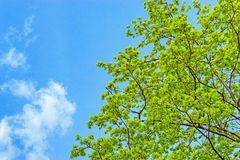 Branches with spring leaves Royalty Free Stock Photography