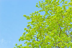 Branches with spring leaves Royalty Free Stock Image