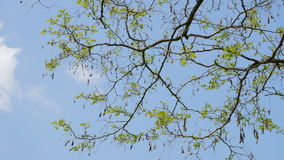 Branches of spring tree on blue sky stock video footage