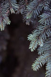 Branches spruce blue on dark background. Small depth of field, film effect, selective focus. Spruce branches against a dark background. Blue spruce, small depth Royalty Free Stock Images
