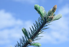 Branches of spruce Stock Photos