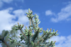 Branches of spruce Stock Image