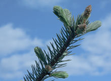 Branches of spruce Stock Images