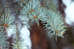 Branches spruce blue with snow, like background. Small depth of field, film effect, selective focus. Spruce branches against a light background. Blue spruce Royalty Free Stock Image