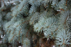 Branches spruce blue with snow, like background. Small depth of field, film effect, selective focus. Spruce branches like background. Blue spruce, small depth Stock Photography