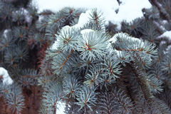 Branches spruce blue with snow, like background. Small depth of field, film effect, selective focus. Spruce branches with snow, like background. Blue spruce Stock Photos