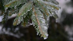 Branches of spruce covered with ice after rain. The branches of spruce covered with ice after rain stock video footage