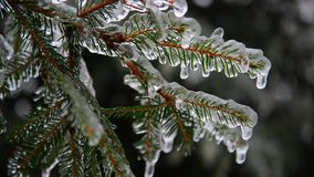 Branches of spruce covered with ice after rain. The branches of spruce covered with ice after rain stock footage