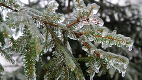 Branches of spruce covered with ice after rain. The branches of spruce covered with ice after rain stock video