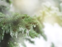 Branches of spruce covered with ice rain Stock Images