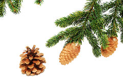 The branches of spruce with fir cones Royalty Free Stock Photo