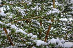 Branches of spruce forest under snow, background Royalty Free Stock Image