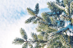 Branches of spruce in frost and snow. Winter background. Branches of spruce in blue frost and snow Royalty Free Stock Photo