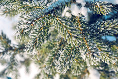 Branches of spruce in frost and snow. Winter background. Branches of spruce in blue frost and snow Stock Photo