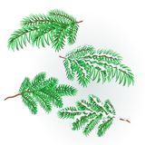 Branches Spruce  lush conifer autumnal and winter snowy natural background vector illustration editable. Hand draw Stock Photo