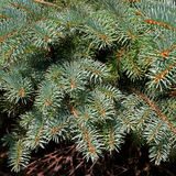 Branches of spruce. Norway spruce. a branch of pine needles. close-up Royalty Free Stock Photos