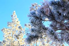 branches of the spruce and pines are covered with snow on a bright sunny day Stock Images