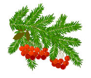Branches of spruce and rowan Stock Image