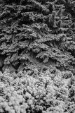 Branches of spruce and shrubs are covered with snow Royalty Free Stock Image