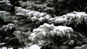 The branches of spruce in  snow in at park. The branches of spruce in the snow in the park stock footage