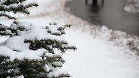 The branches of spruce in  snow in at park stock video