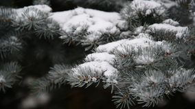 Branches of spruce in  snow at  park during a snowstorm. The branches of spruce in the snow in the park during a snowstorm stock video footage