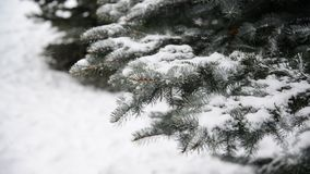 Branches of spruce in  snow at  park during a snowstorm. The branches of spruce in the snow in the park during a snowstorm stock footage