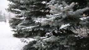 Branches of spruce in  snow at  park during a snowstorm. The branches of spruce in the snow in the park during a snowstorm stock video