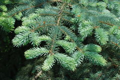 Branches of spruce tree. Green branches of silver spruce tree in spring Royalty Free Stock Images
