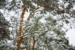 Branches of spruce tree with white snow. Winter spruce trees in the frost.Layer of snow on branches of spruce with hoar-frost.Fir- Royalty Free Stock Photography