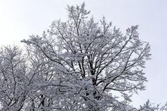 Branches of spruce tree with white snow. Winter spruce trees in the frost.Layer of snow on branches of spruce with hoar-frost. Fir-tree branches of conifer tree royalty free stock photo