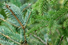 Branches of Spruce Two One Picea Bicolor Stock Photos