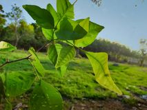 Branches and stems and bael leaves of quince trees royalty free stock image