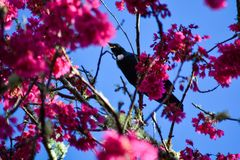 A tui bird of new zealand at spring enjoying the warm sun. The branches are still quite bare a little red from winter soon to be full of new growth and the track royalty free stock photography