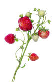 Branches of  strawberries isolated Royalty Free Stock Photo