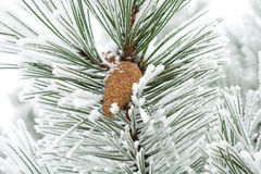 Branches with strobile and snow Royalty Free Stock Photos