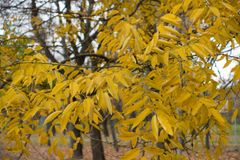 Branches of Styphnolobium japonicum with yellow leaves in autumn. Branches of Styphnolobium japonicum with gold yellow leaves in autumn Royalty Free Stock Photos