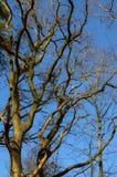 Branches supérieures d'un chêne Photos stock